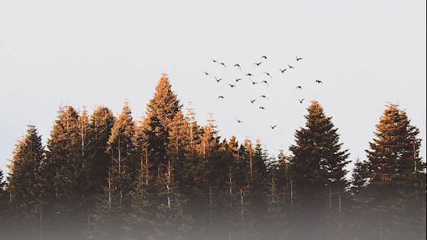 A flock of birds fly from a forest.