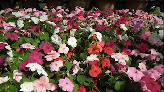 Mother's Day flower and plant sale underway to benefit cancer patients
